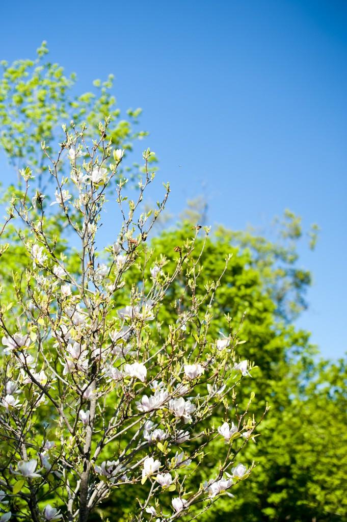 """""""white magnolias"""""""