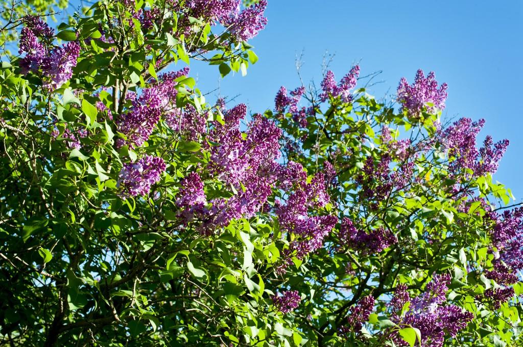 """Lilac tree"""