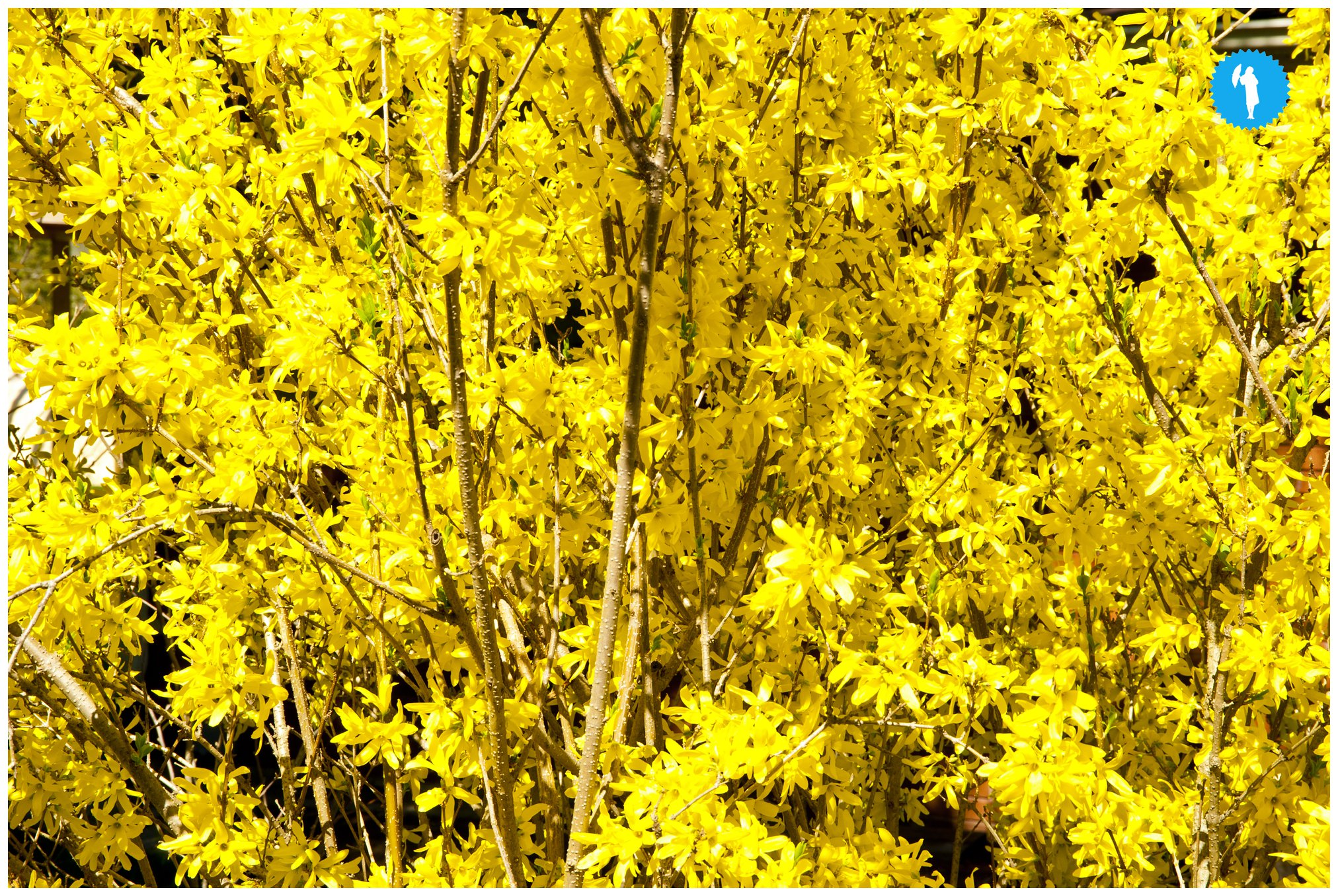 forsythia by Emily Beatty. Yellow.