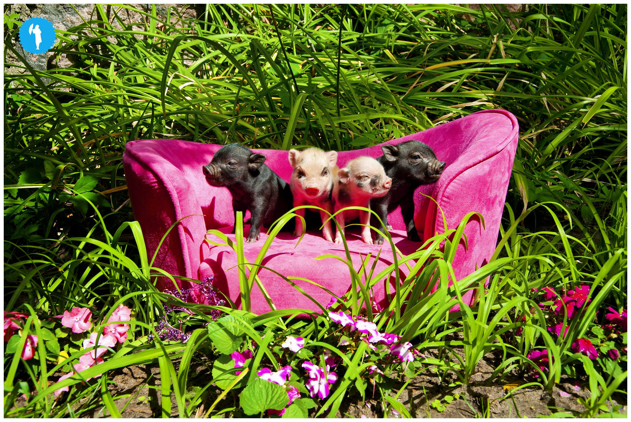 Baby piggies at Steckle Heritage Farm by Emily Beatty.